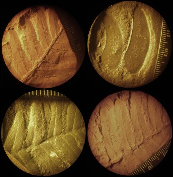 Схема, описывающая расположение листьев Циклоптерис.