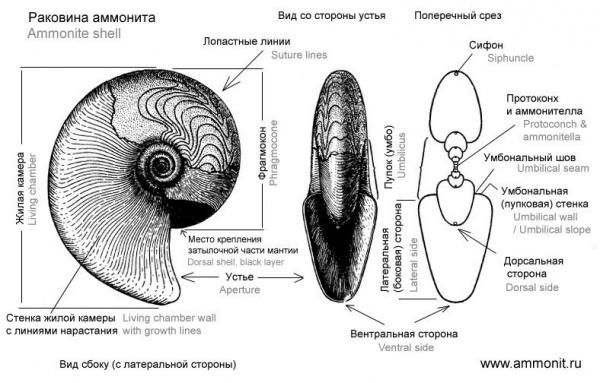 У наутилусов и некоторых палеозойских аммонитов вороночный синус один и расположен на вентральной стороне...