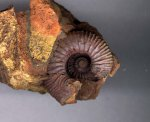 Kepplerites approximatus