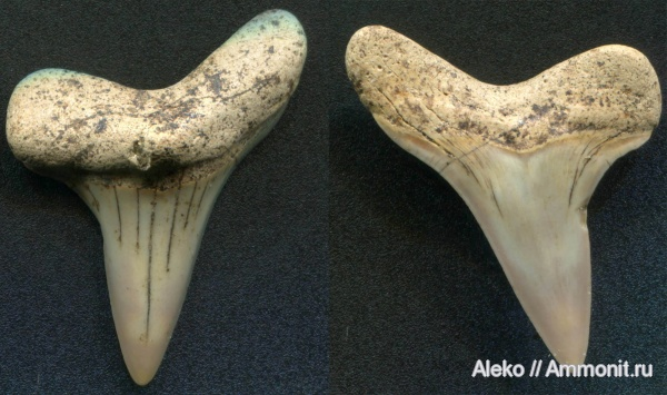 сеноман, зубы акул, Cretoxyrhina, Шацк, Cenomanian, shark teeth
