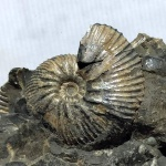 Craspedodiscus sp.