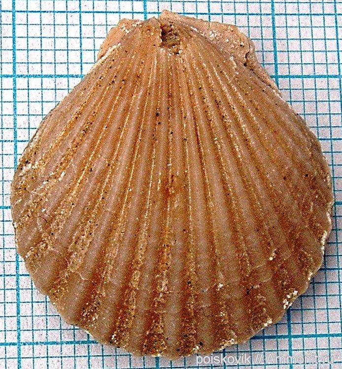 двустворчатые моллюски фото нарисовать ветка
