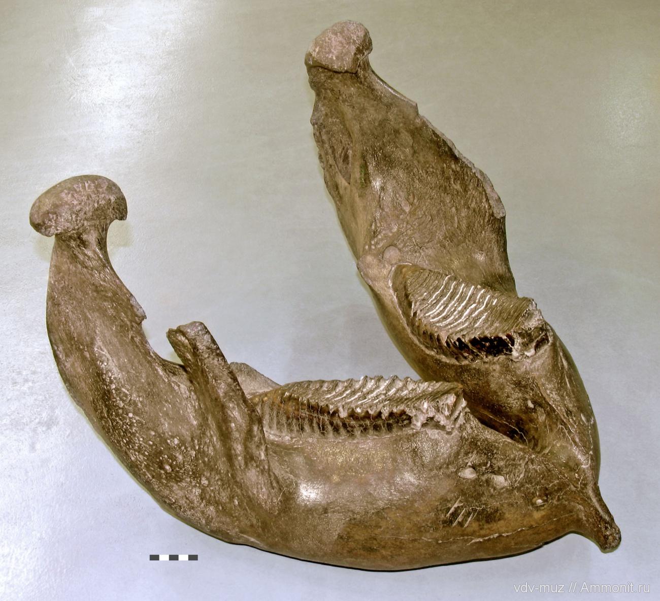 Картинка зуба мамонта