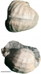 Carboniferous fauna from USA