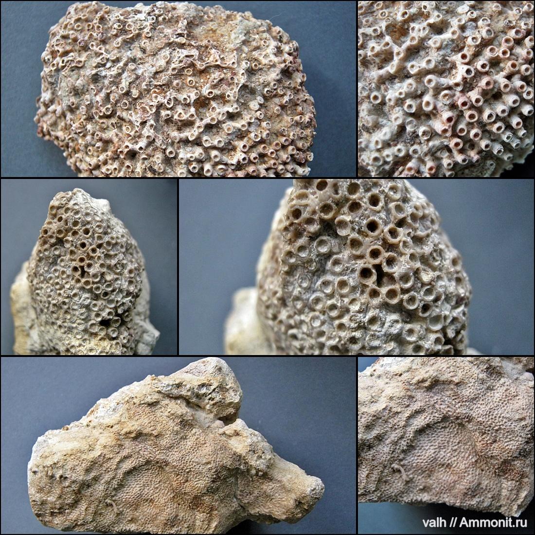 1 - ругозы (а - lonsdaleia; б - calceola, вверху над кораллитом крышечка); 2 - табуляты (а - syringopora