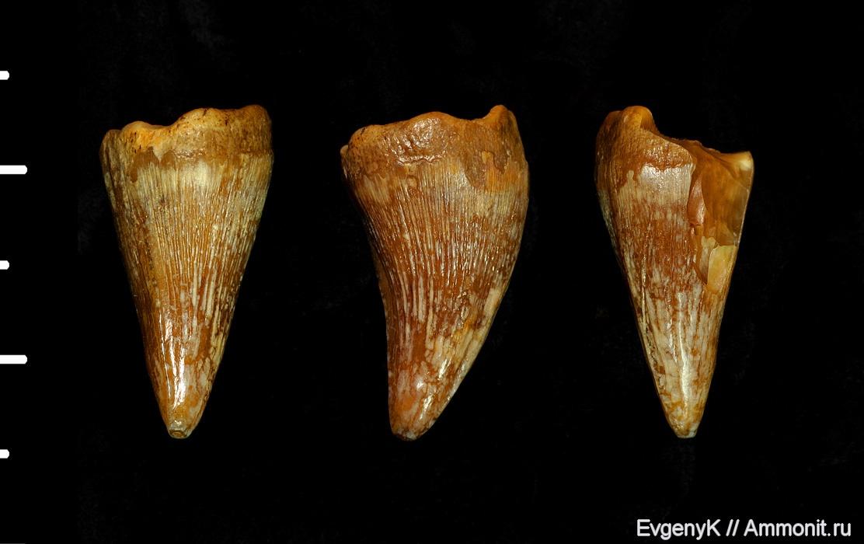 Зуб мозазавра биметаллический это