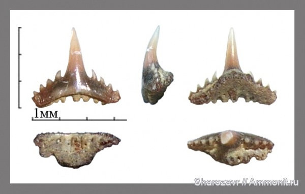 рыбы, акулы, зубы акул, Synechodus, Волгоград, fish, shark teeth, sharks, Synechodus faxensis