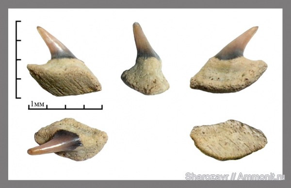 рыбы, акулы, зубы акул, ?, Hexanchiformes, Волгоград, fish, shark teeth, sharks