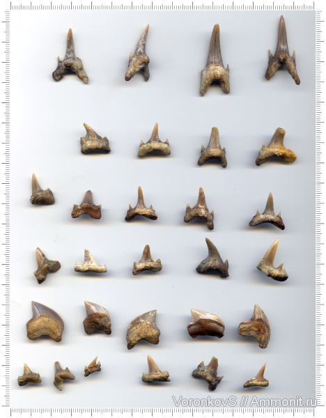 мел, зубы, акулы, Squalicorax, Саратов, зубы акул, кампан, Squalicorax kaupi, Campanian, Cretaceous, teeth, shark teeth, sharks
