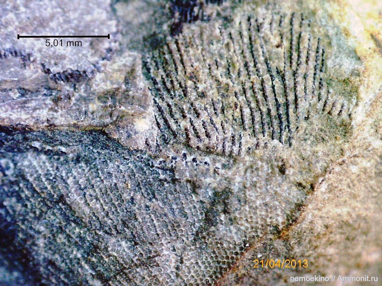 Картинки по запросу Граптолиты, граптолиты фото