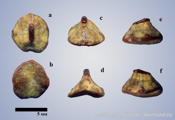 палеоцен, скаты, шипы, Волгоград, ray, dermal denticle, Paleocene, ray denticle