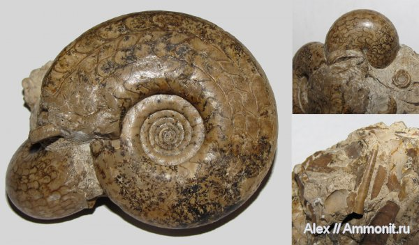 пермь, Eothinites, Waagenina, Goniatitida, артинский ярус, Ammonites, Dolorthoceras, Dolorthoceras stiliforme, Eothinites aktastensis, Pseudorthocerida, Permian