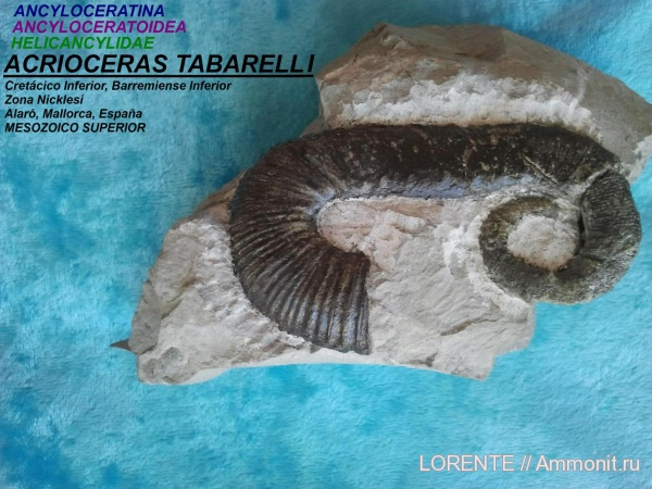 Acrioceras, Ancyloceratina, Ancyloceratoidea, Helicancylidae