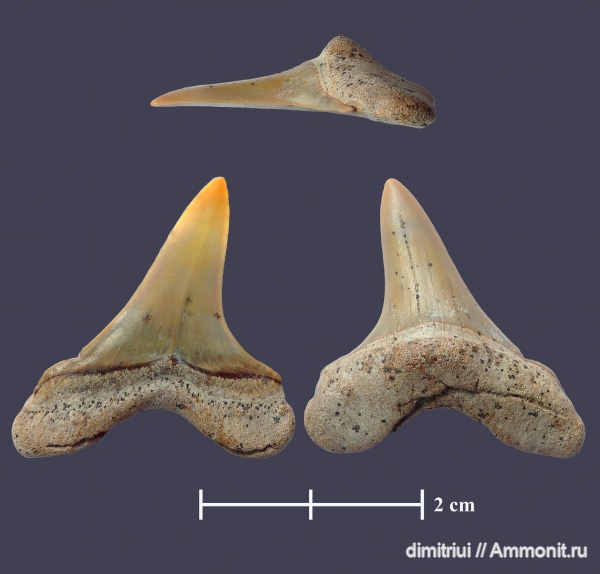 мел, акулы, сеноман, Cretoxyrhina, Cretoxyrhina denticulata, Шацк, Малый Пролом, Cretaceous, teeth, shark teeth, sharks