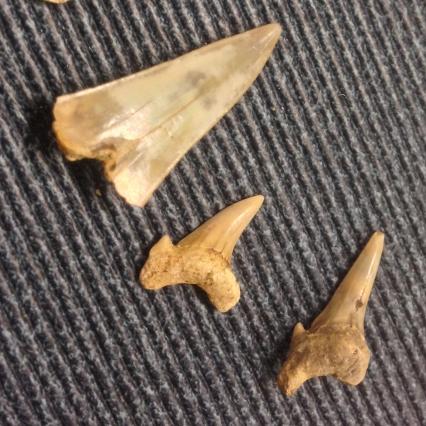 мел, сеноман, зубы акул, Cretoxyrhina, Archaeolamna, Варавино, shark teeth