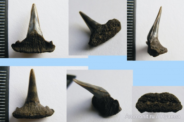 зубы, акулы, Sphenodus, зубы акул, Sphenodus stschurowskii, teeth, shark teeth, sharks