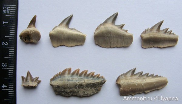 эоцен, акулы, зубы акул, Notorhynchus, бартон, Hexanchiformes, Notorhynchus kempi, shark teeth, sharks