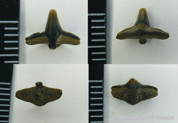 зубы, акулы, апт, Squatina, Aptian, teeth, sharks