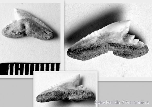 зубы, эоцен, акулы, Chondrichthyes, Elasmobranchii, Зауралье, Galeorhinus, Physogaleus, teeth, sharks