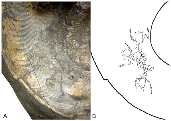 Десятиногие раки Eryonidae в раковине аммонита Harpoceras falciferum