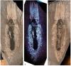 Найден отпечаток тела нижнеюрской
