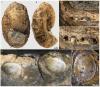 Брахиоподы Discinisca на аммоните и двустворках-иноцерамах