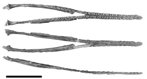 Aetodactylus halli
