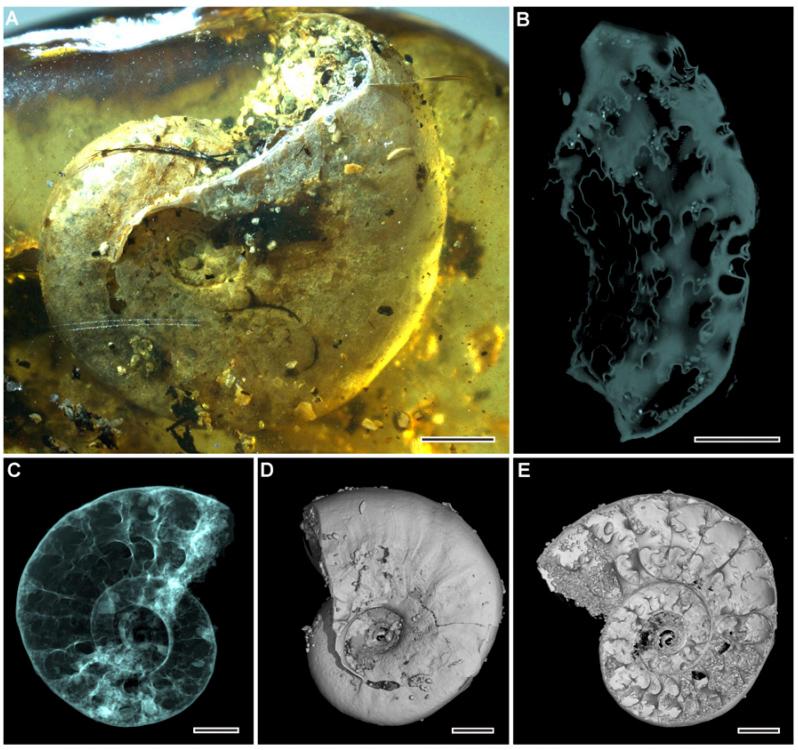 Аммонит в янтаре - внешний вид раковины и изображения, полученные при помощи томографа