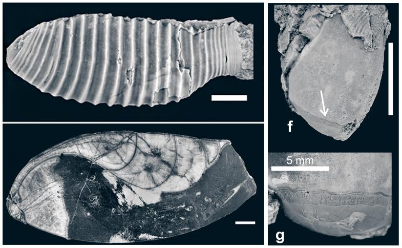 Аскоцериды - внешний вид и продольный срез взрослого экземпляра и отпечатки мускулов