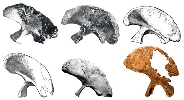 Brontomerus mcintoshi