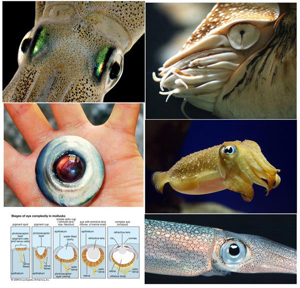 глаза головоногих моллюсков