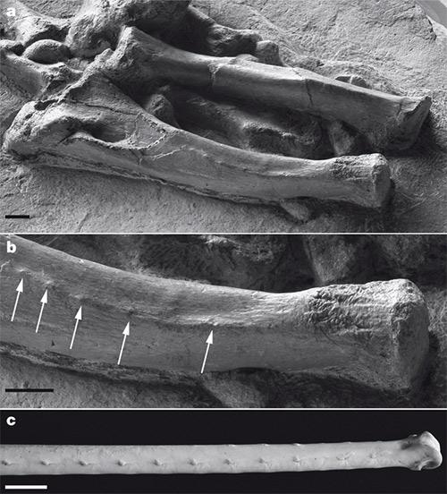 кости динозавра Concavenator corcovatus