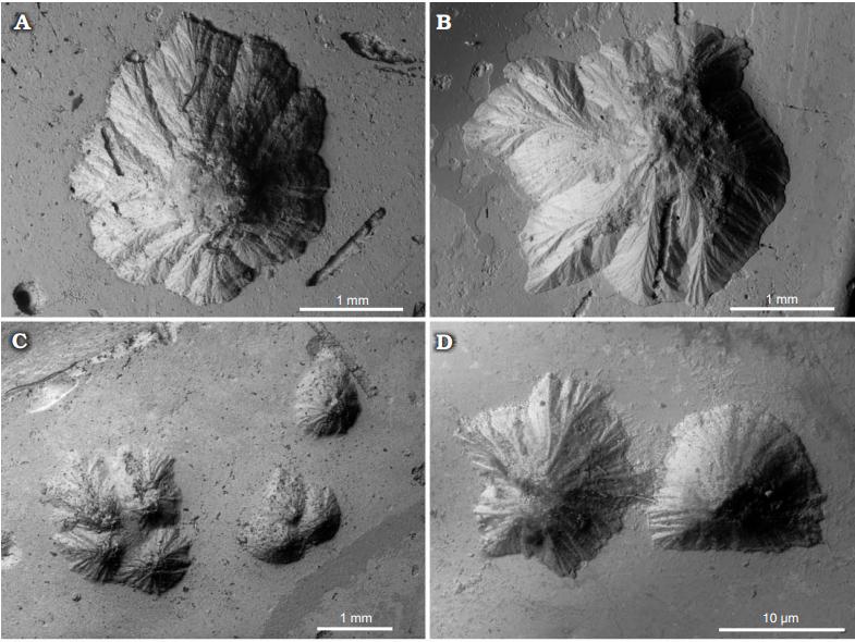 Конеллы на ядрах верхнеоксфордских Amoeboceras serratum из Рыбаков