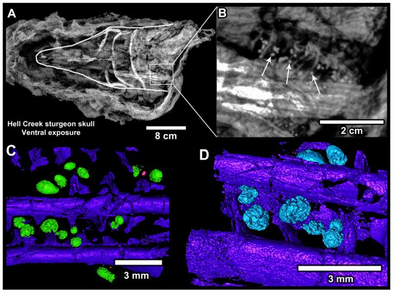 Микротектиты в жабрах осетровых рыб, погибших по вине астероида