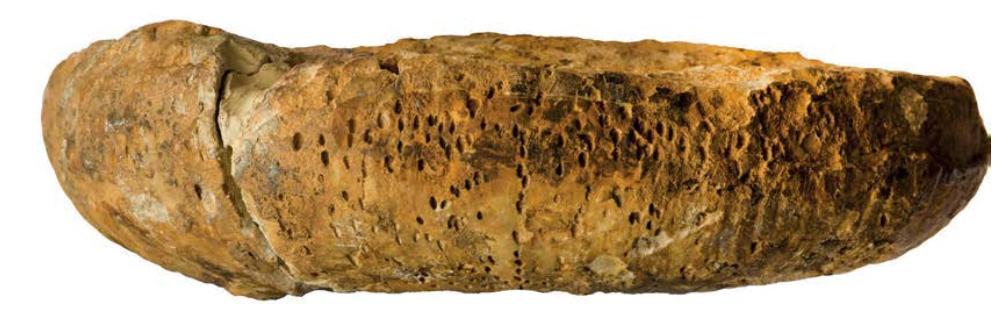Засверленный усоногими вентр аммонита Physodoceras из кимериджа Венгрии