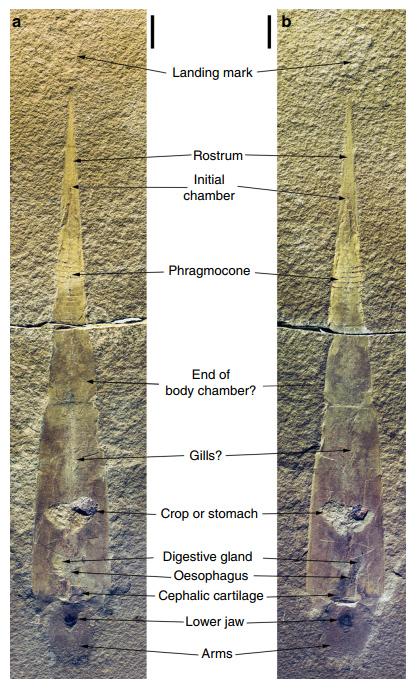 Gordoniconus beargulchensis - бывшая наутилоидея, оказавшаяся на самом деле колеоидеей