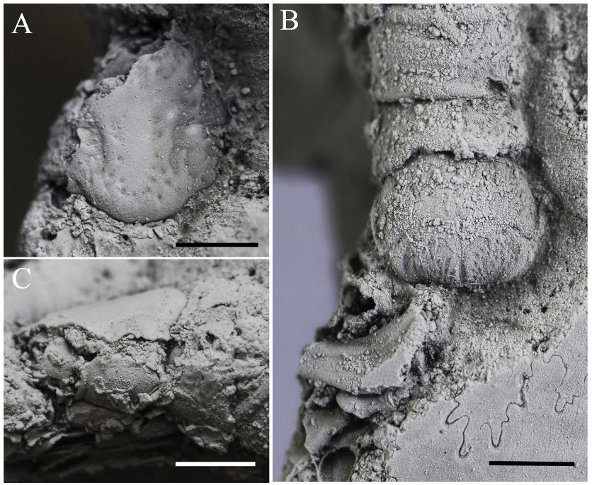 Сохранившиеся части панциря рака-отшельника в раковине верхнеюского Craspedites.