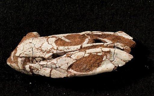 череп крокодила Pakasuchus kapilimai
