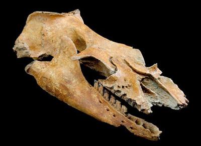 череп Mammalodon colliver