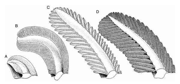 Перья Praeornis sharovi