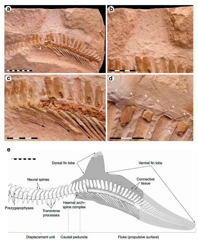 скелет Prognathodon с отпечатком мягких тканей