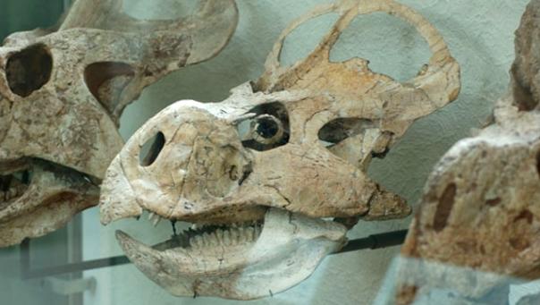 Череп Protoceratops andrewsi