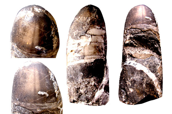 прижизненная окраска на раковине Sphooceras