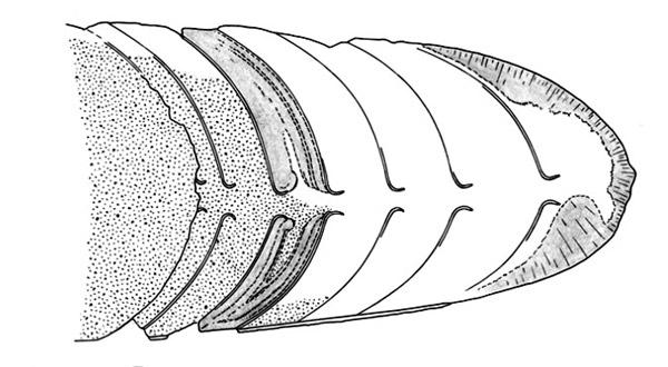 Внутрикамерные отложения Sphooceras